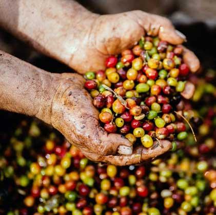 cafe panameño, catacion de cafe